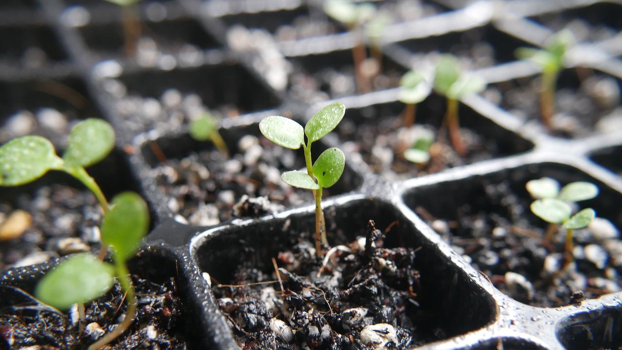種から藍を育てよう。第2回 芽が出たかな?