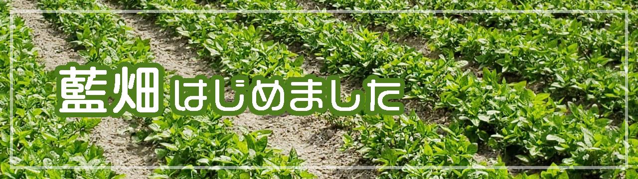 静岡唯一の藍畑:人宿藍染工房の藍畑はじめました