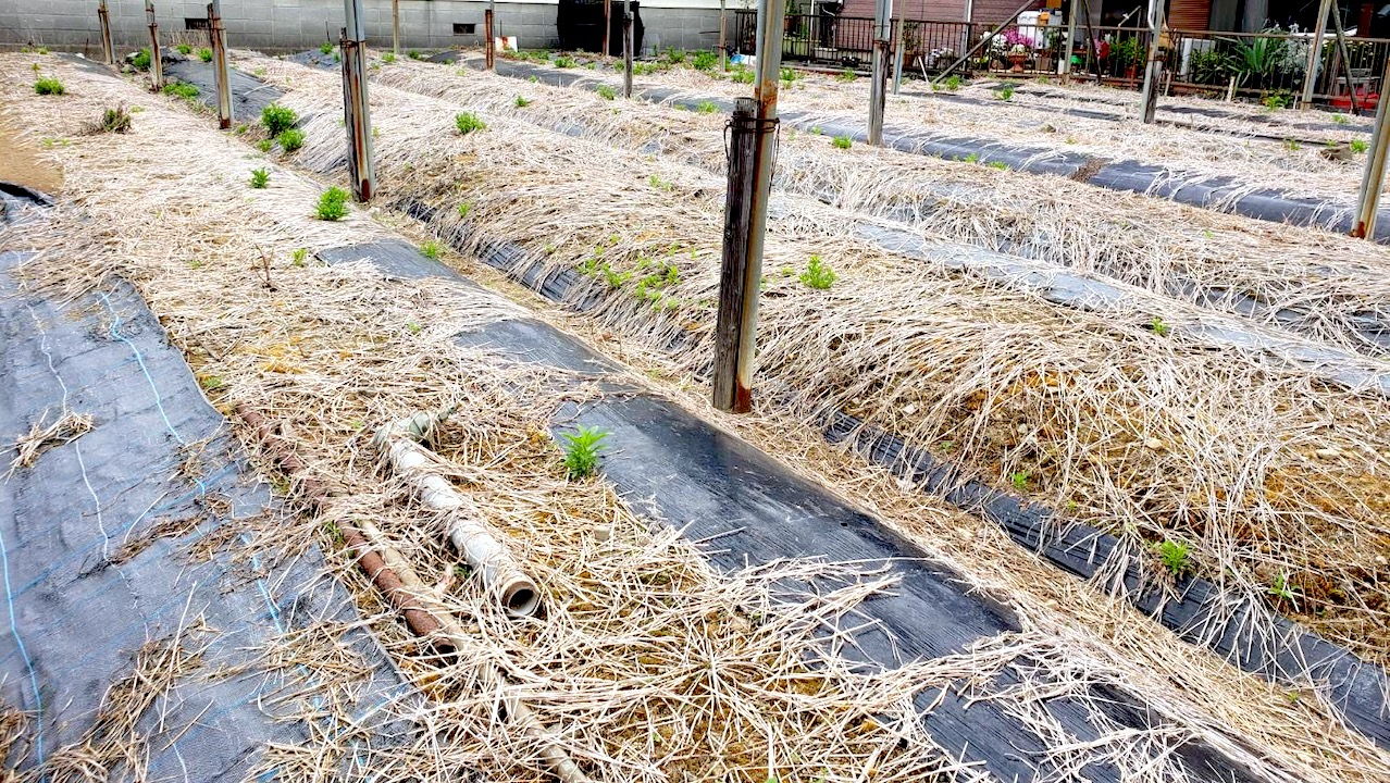 静岡市唯一の藍畑:人宿藍染工房