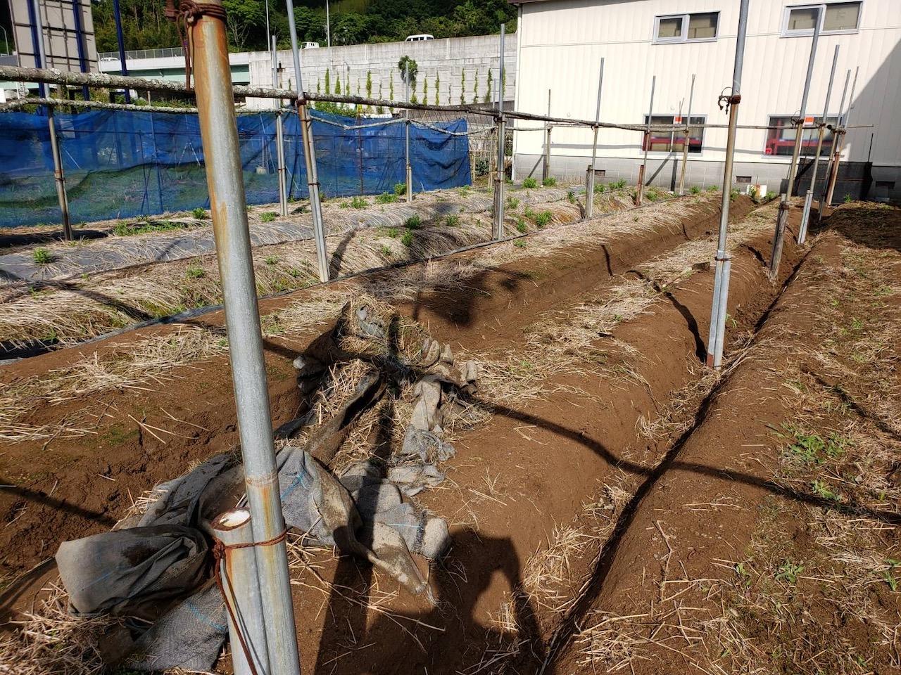 静岡藍の復活へ:自然薯畑を藍畑へ。