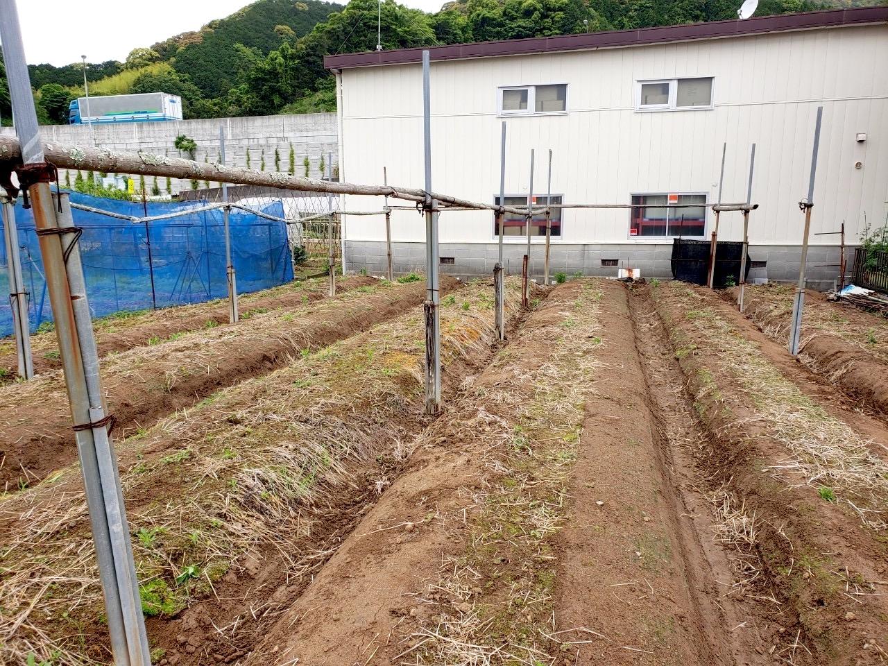 自然薯用の支柱を排除していく作業