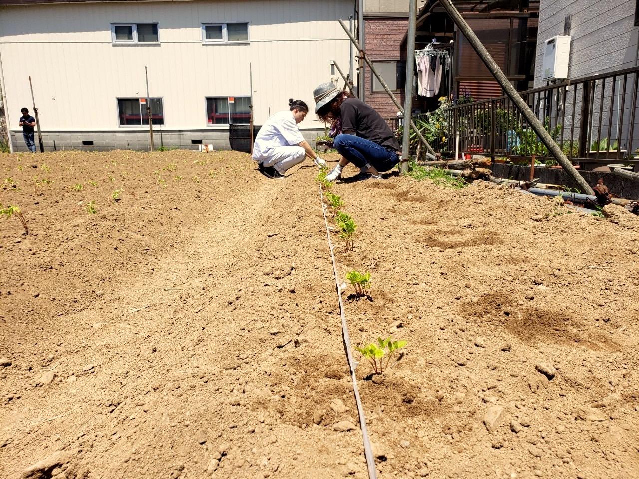 藍畑の苗の定植作業風景:人宿藍染工房