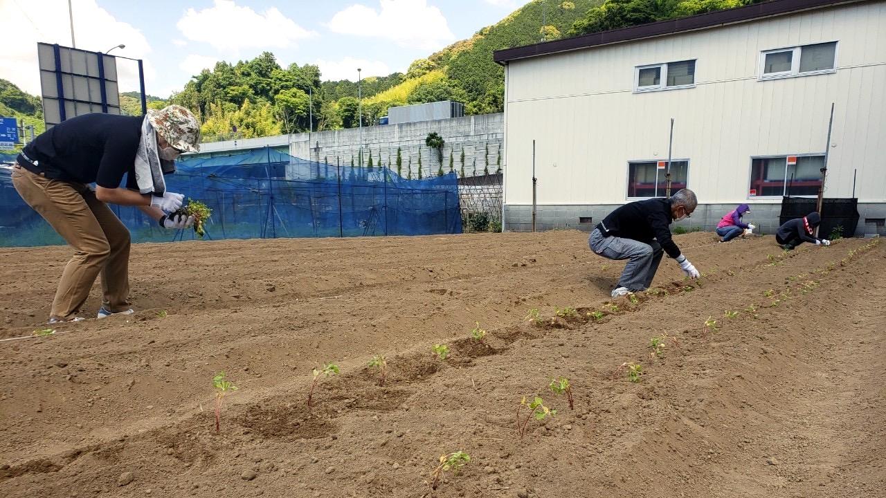 藍畑に苗を定植する作業:人宿藍染工房