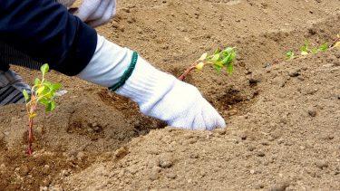 藍畑からこんにちは:藍の苗の植え込みをしました