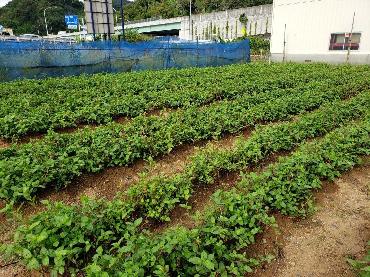 静岡藍:藍の生命力!9月中旬、そろそろ二番刈りもできそうな予感